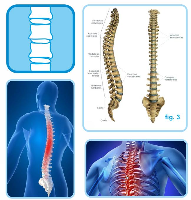 Columna vertebral - Oftega